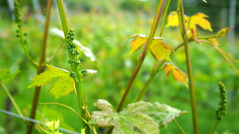 Weinrebe in Bad Bellingen in der Blüte – Beate Ziehres