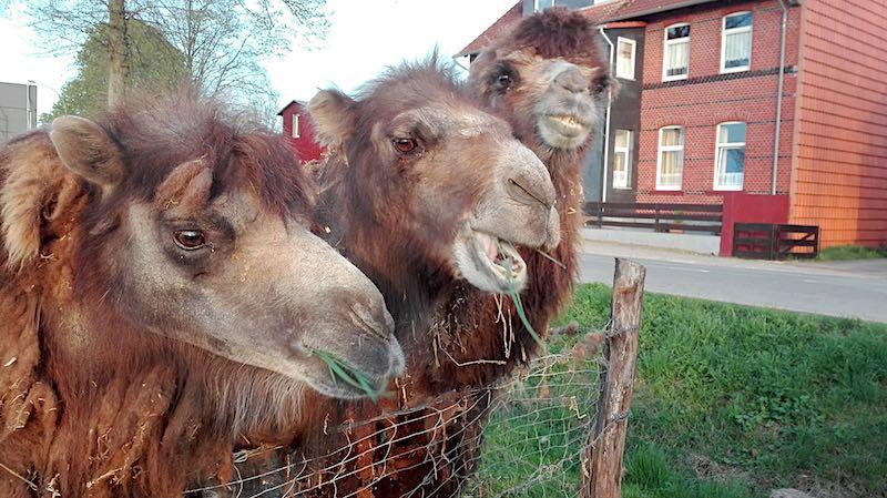 Nah dran an den Kamelen in Helmstedt, Niedersachsen – Foto: Beate Ziehres