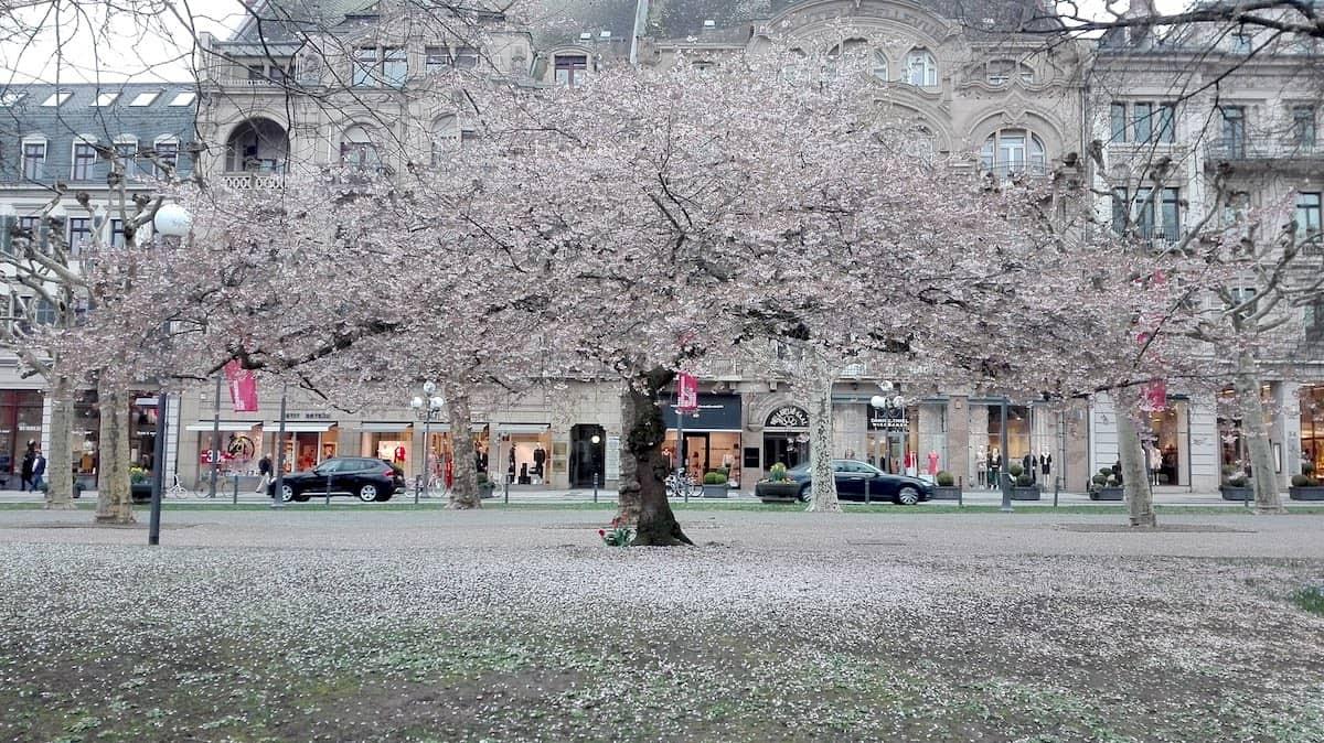 Wiesbaden: blühender Baum im Kurpark. Foto: Beate Ziehres