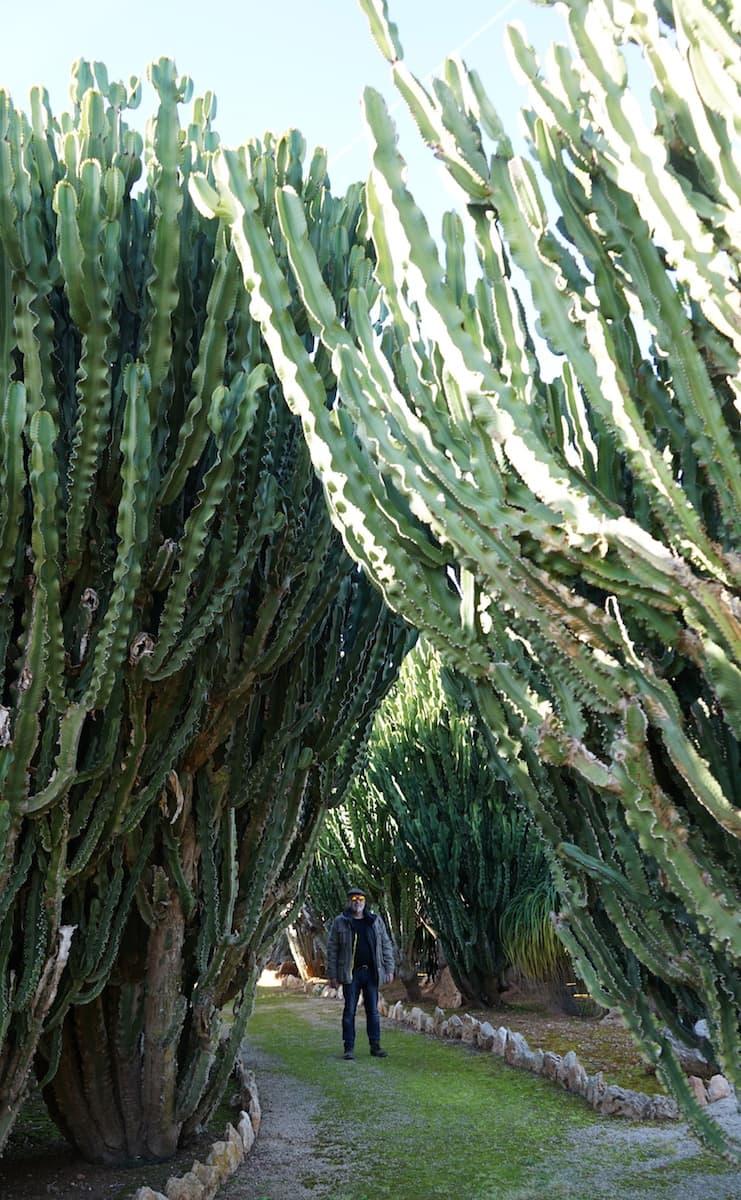 Mallorca im Winter: Gigantische Kakteen im botanischen Garten Botanicactus in Ses Salines. Foto: Beate Ziehres