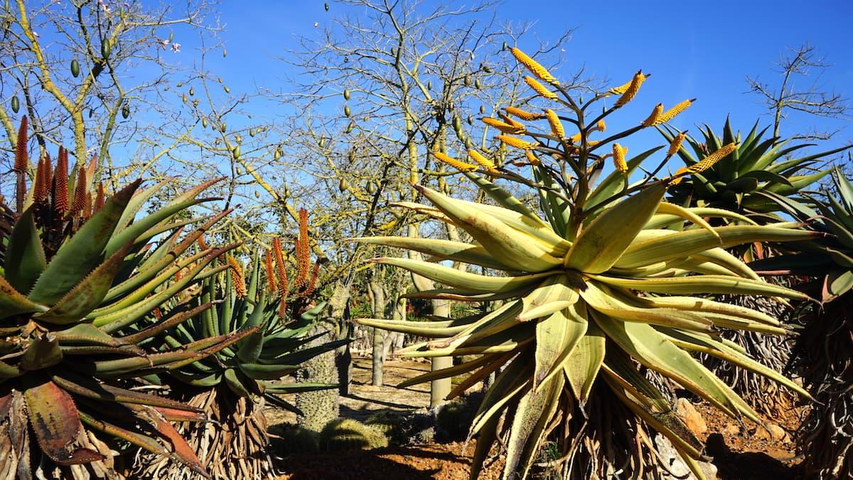Mallorca im Winter: Kakteen im botanischen Garten Botanicactus in Ses Salines. Foto: Beate Ziehres