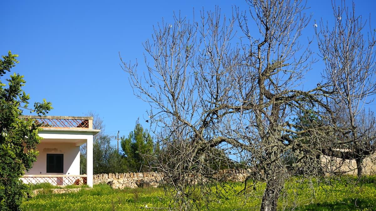 Mallorca im Winter: erste Mandelblüten Anfang Januar. Foto: Beate Ziehres