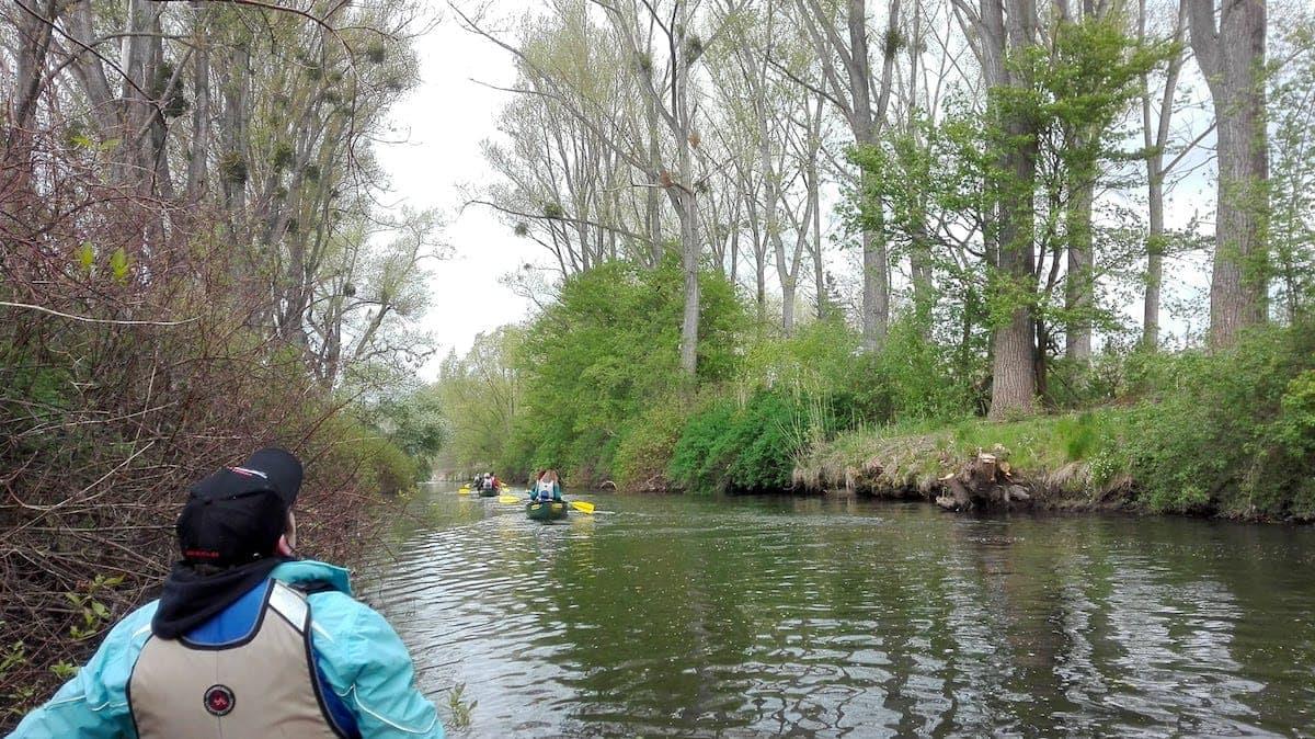 Oker-Tour: Misteln ohne Ende in den hohen Bäumen am Ufer der Oker.