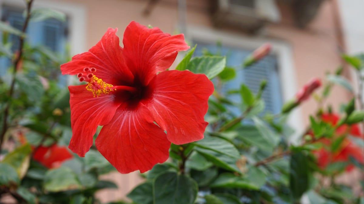 Hibiskusblüte in Lipari-Stadt, Sizilien, Italien – Foto: Beate Ziehres