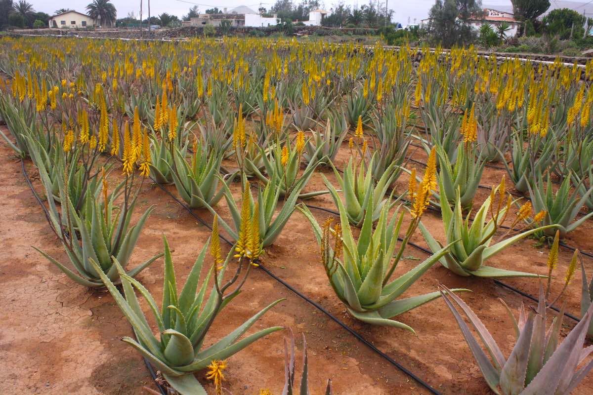 Aloe Vera Plantage auf Fuerteventura – Foto: Lena Ziehres