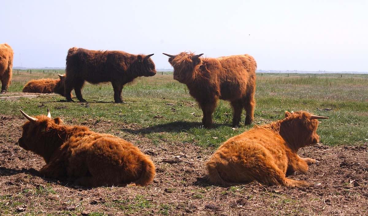 Reiselust-Mag: Highland-Cattle-Rinder am Wegesrand auf Langeoog – Foto: Lena Ziehres