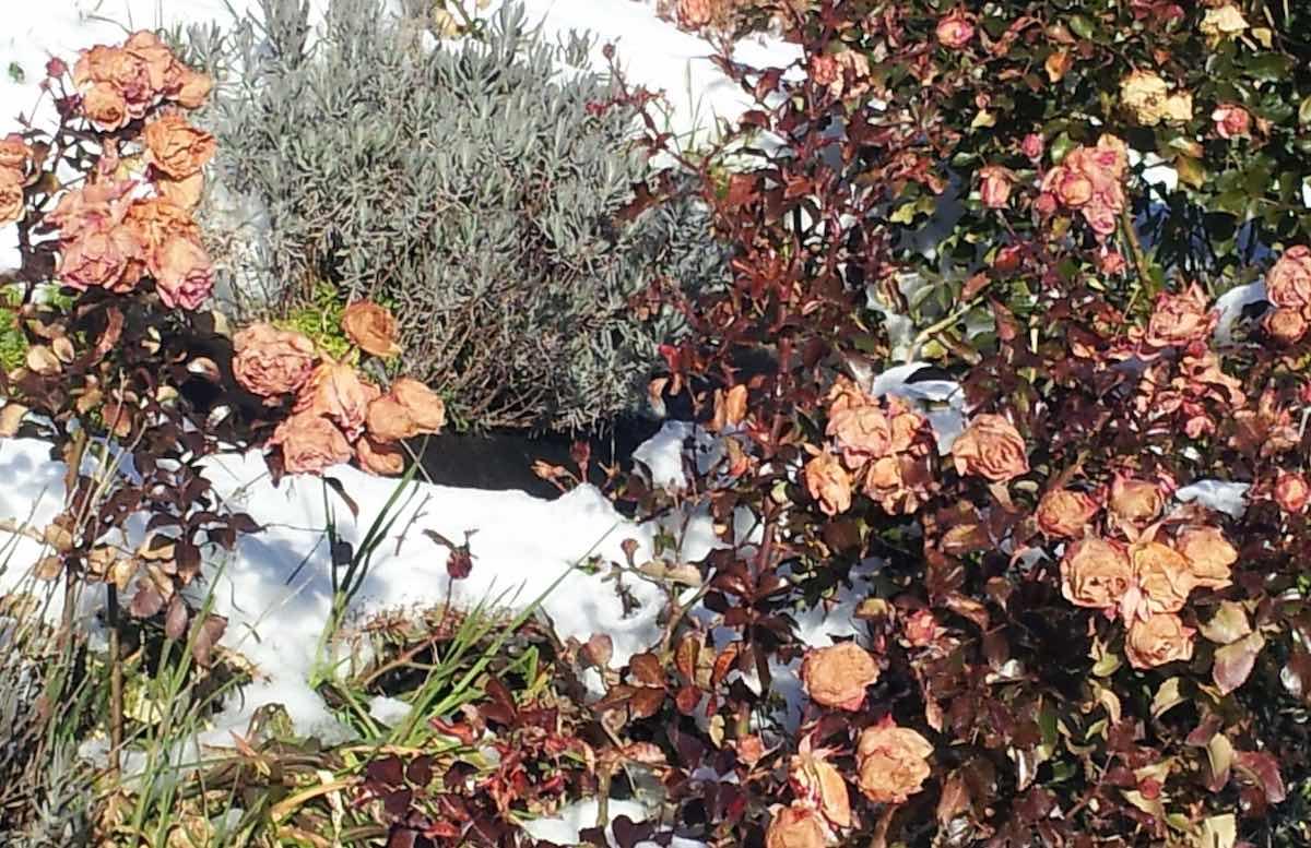 Rosenblüten und Lavendel im Schnee: Das milde Klima in Südtirol ermöglicht Bilder wie dieses – Foto: Beate Ziehres