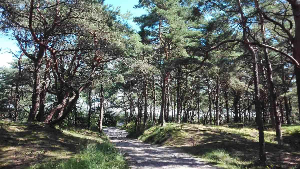 Kiefernwald auf den Dünen bei Juliusruh – Foto: Beate Ziehres