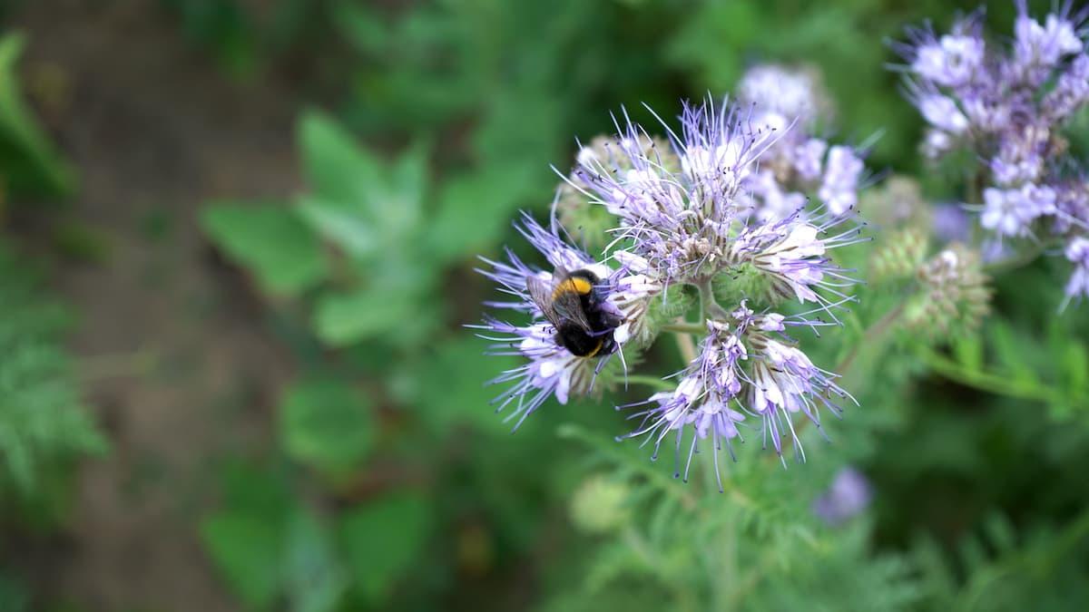 Stendal, Stallbaum: Biene in Phacelia-Blüte – Foto: Beate Ziehres