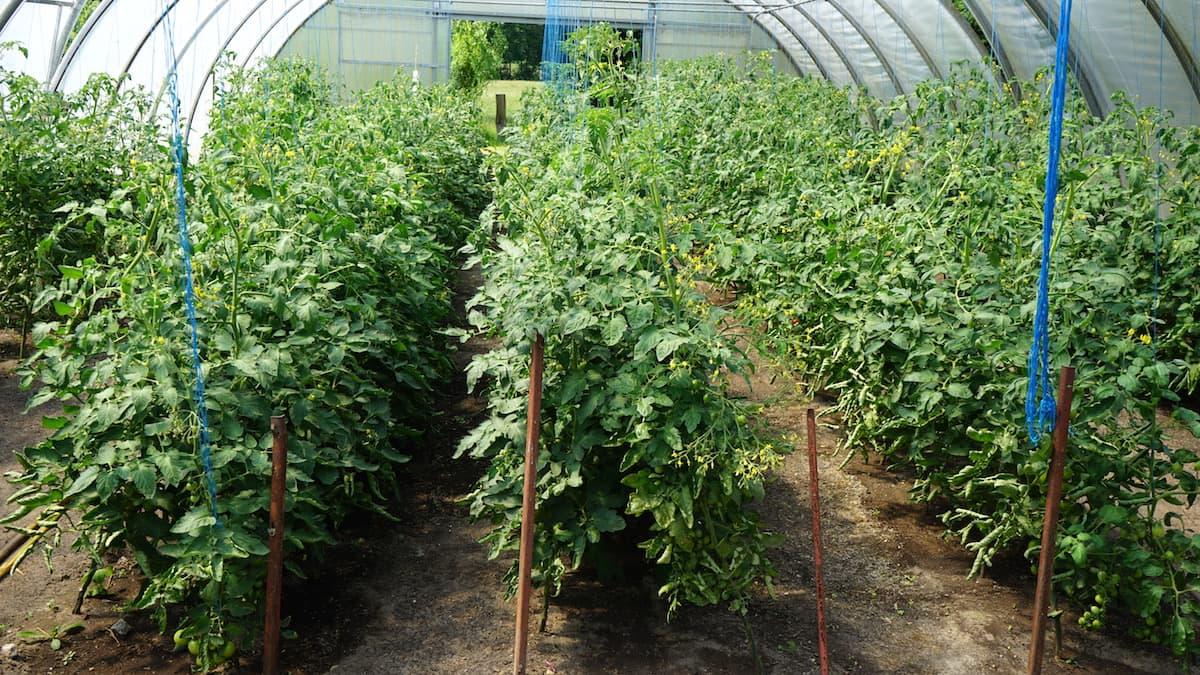 Stendal, Uchtspringe, Hofgut: Tomatenpflanzen – Foto: Beate Ziehres