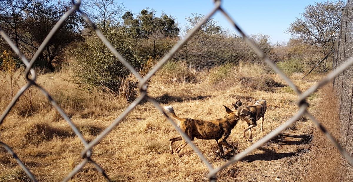 Safari in Südafrika, ChaZen privates Wildreservat: afrikanische Wildhunde. Foto: Lena Ziehres