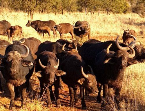 Südafrika: Safari im privaten Wildreservat ChaZen