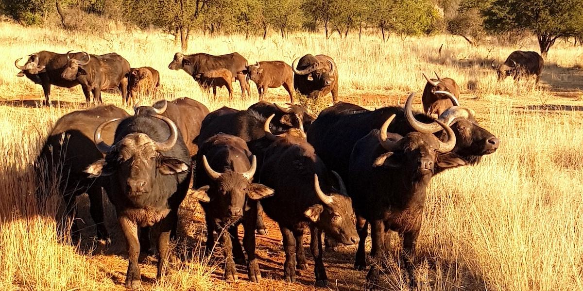 Safari in Südafrika, ChaZen privates Wildreservat: Büffelherde. Foto: Lena Ziehres