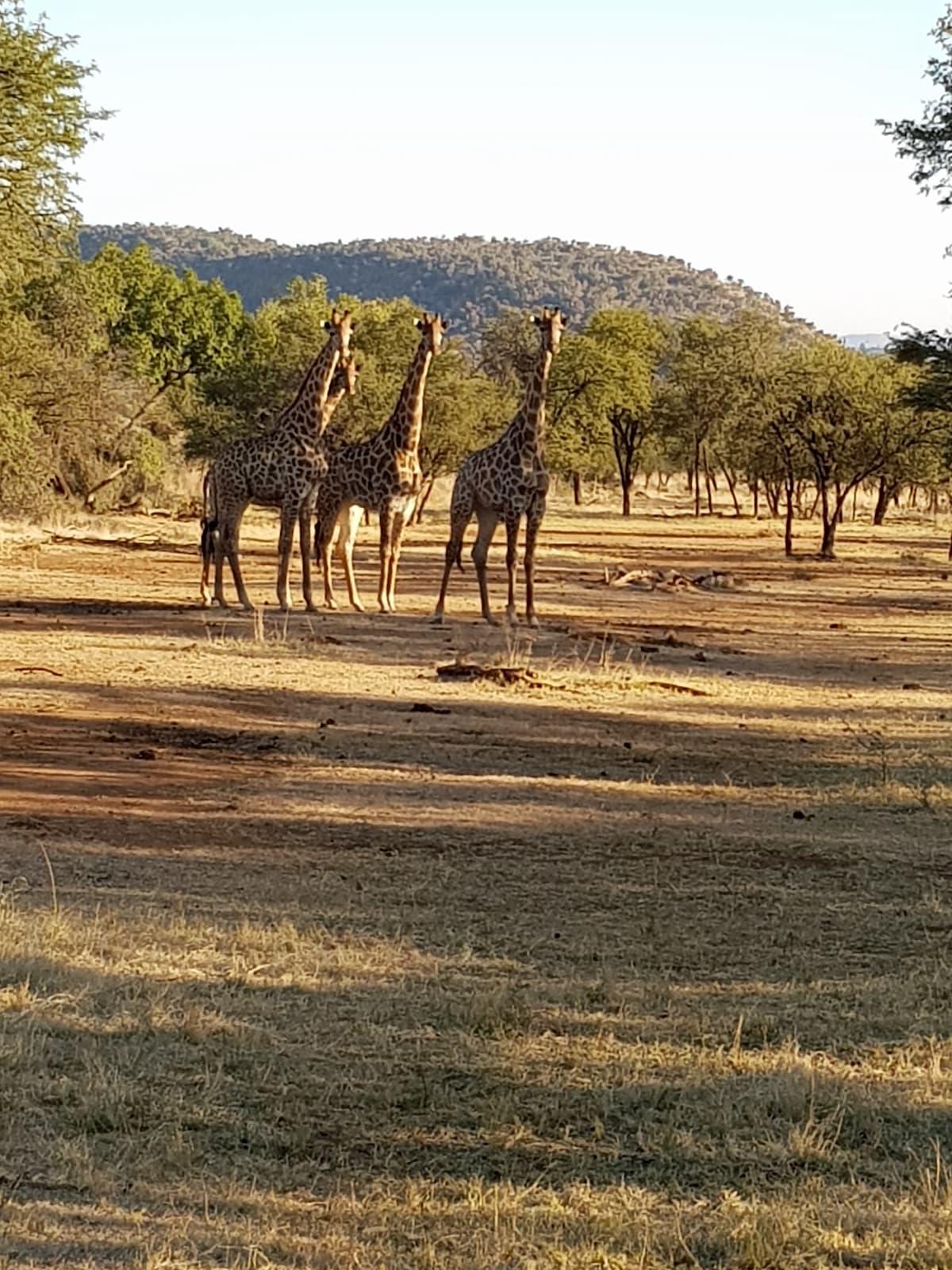 Safari in Südafrika, ChaZen privates Wildreservat: Giraffen. Foto: Lena Ziehres