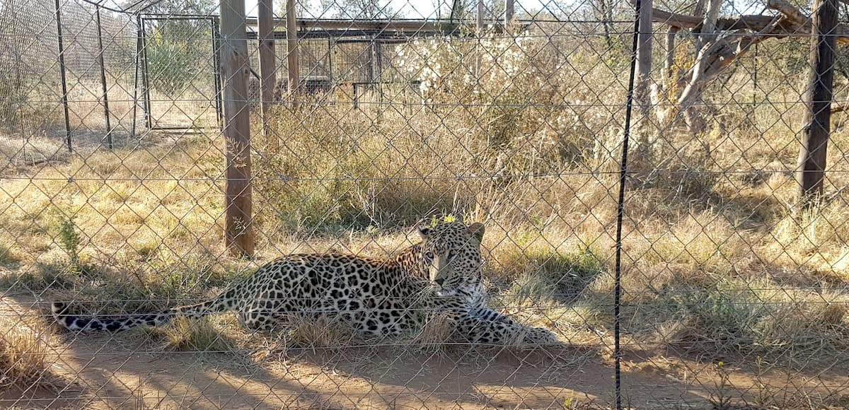 Safari in Südafrika, ChaZen privates Wildreservat: Leopard. Foto: Lena Ziehres