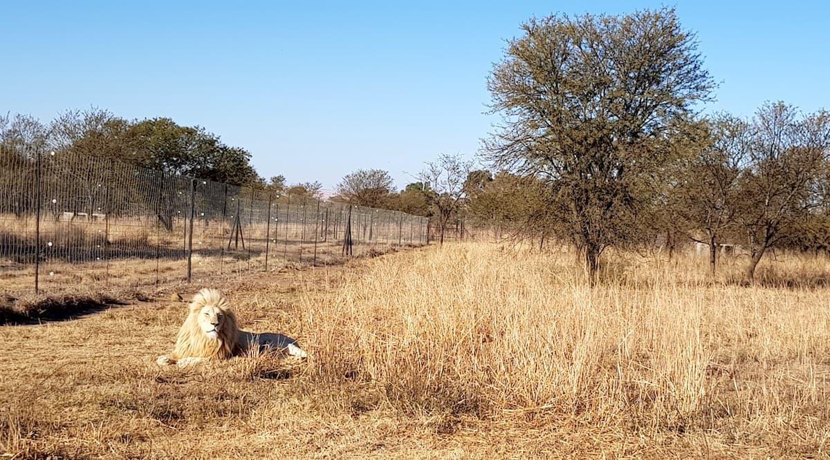 Safari in Südafrika, ChaZen privates Wildreservat: weißer Löwe. Foto: Lena Ziehres