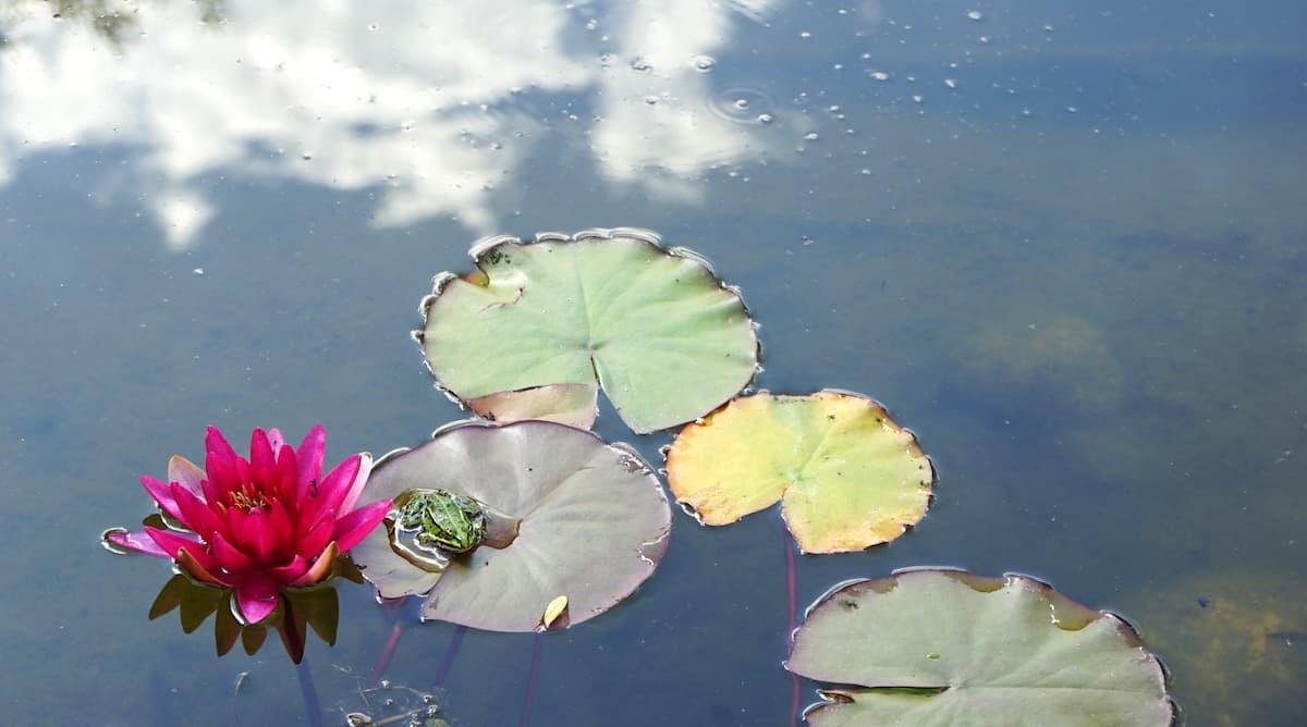 Tangerhütte, Cobbel. Frosch im Teich – Foto: Beate Ziehres