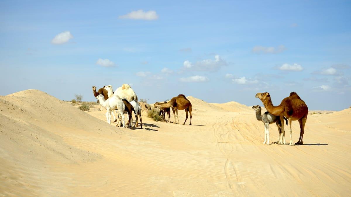 Tunesien Urlaub – Dromedare in der Wüste Sahara. Foto: Beate Ziehres