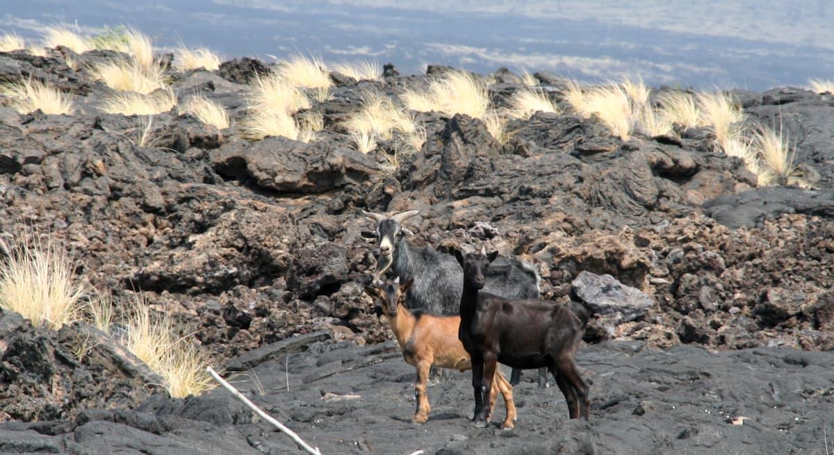 Hawaii, Big Island, Ziegen auf Lavafeld. Foto: Beate Ziehres