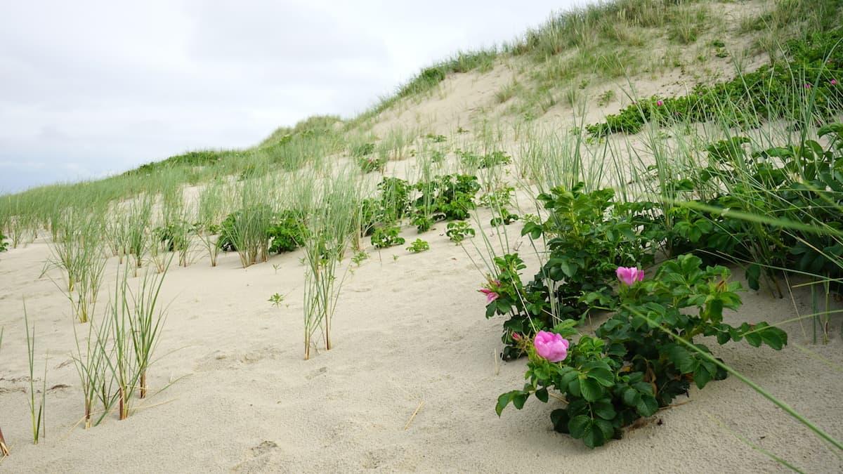 Wangerooge: Kartoffelrose in den Dünen – Foto: Beate Ziehres