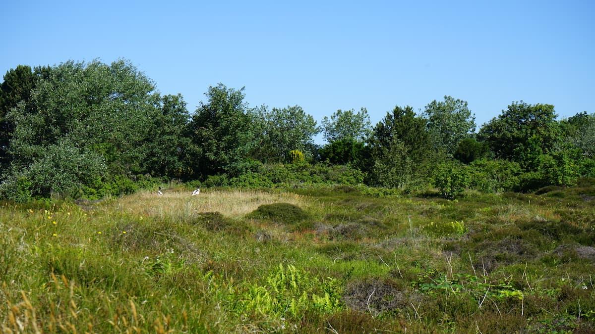 Wangerooge: in der Heide – Foto: Bate Ziehres